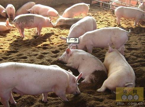 高效循环生态养猪经济