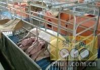 [周]种猪场母种猪养殖设备的选择