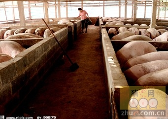 养猪场中合适的温度对