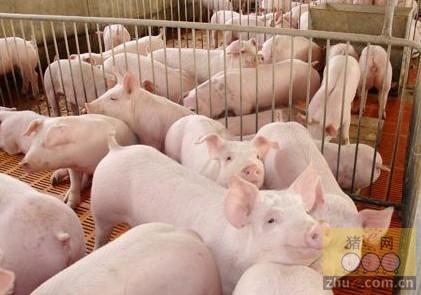 猪群健康与猪场温度有很大的关系