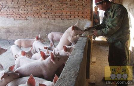 冬季养猪场饲养肉猪的