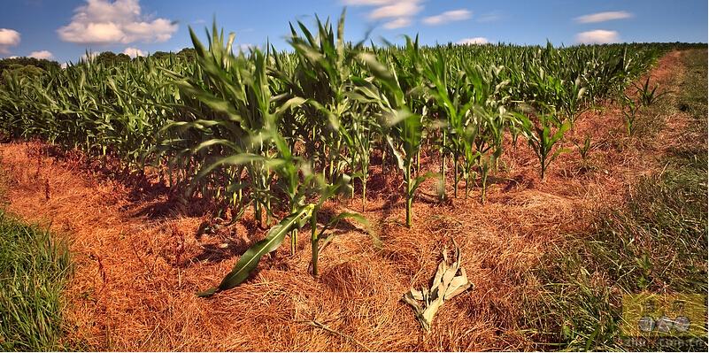 [周]玉米产量减产饲料生猪价格齐涨 干旱或推高CPI