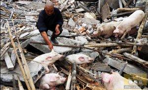 湖北宜昌:百头猪被拆迁队活埋