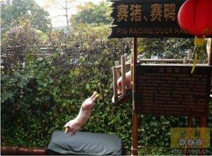 奥运跳水在中国已无新意,现在开始训猪跳水