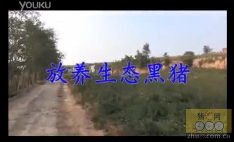 视频: 潞城市厚元猪场生态放养莱芜黑猪