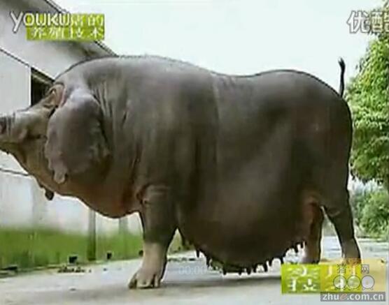 太湖猪养殖技术、太湖猪简介