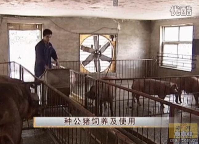 杜洛克猪养殖技术――种猪的饲养与配种管理