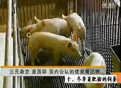 冬季育肥猪的饲养管理
