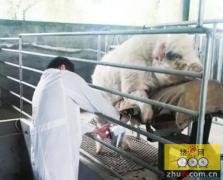 不同品种母猪重复输精的方法