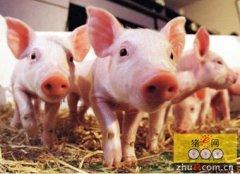 养殖户如何辨别猪种的好坏?