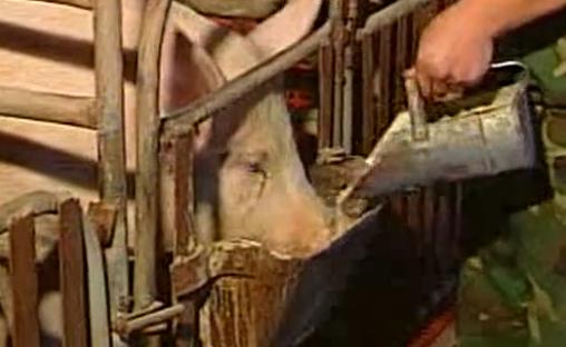 猪的养殖技术(高级)