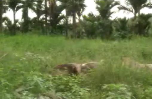 海南猪与杜洛克猪杂交养殖技术