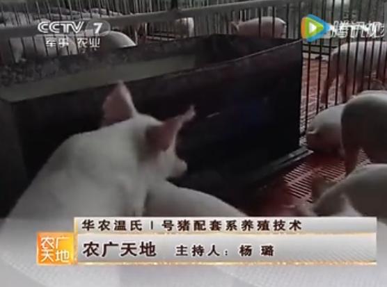 华农温氏1号猪配套系养殖技术