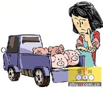 猪价创新高,养殖户反倒忙着卖苗猪