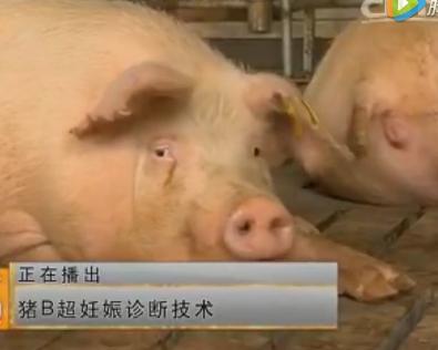 猪B超妊娠技术