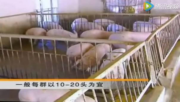 仔猪的育肥技术