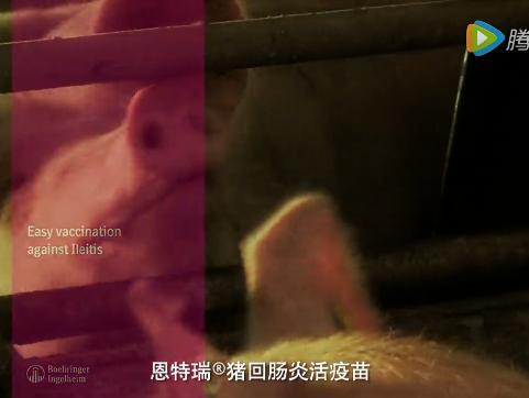 恩特瑞猪回肠炎疫苗免疫操作视频1