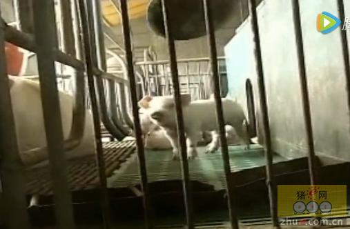 夏季哺乳仔猪的饲养管理技术――养猪技术