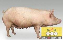欧洲母猪存栏量下降原因何在?