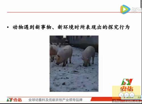 【安佑大学】第七课:猪行为与生产管理的启示