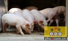 """""""猪周期""""波峰年:养殖户谨慎 加工企业发愁"""