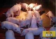 """猪价""""飞天""""""""肥猪拱门""""的大好形势下,养殖户并没有一味地偷着"""