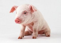 多地投放储备冻肉降温 业内人士称猪行情还未结束
