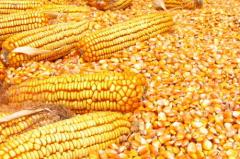 玉米临储创下天量收购 玉米要涨价