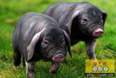 绍兴客商拟在五河建万头黑猪养殖基地