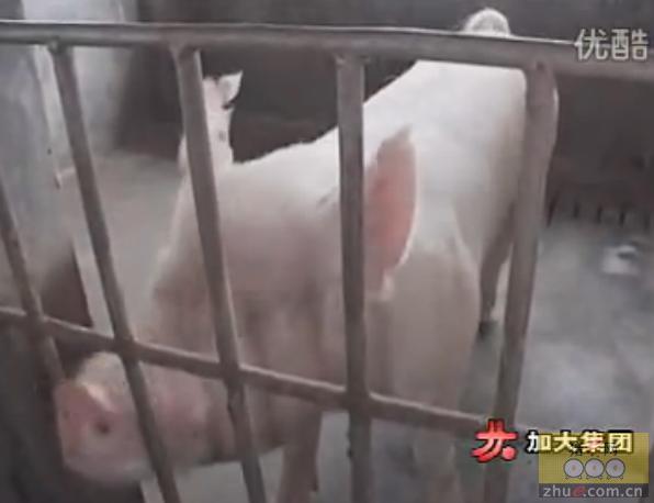 公猪的人工采精技术及母猪的饲养管理