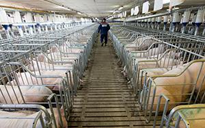 成本低,节水且喷淋均匀,降温效果好,适合夏季中小规模猪场开放式猪舍图片