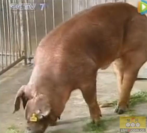 种公猪夏季的饲养管理