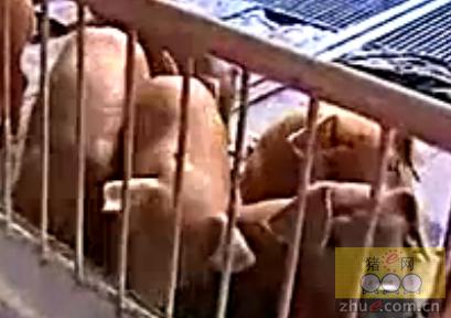 养猪技术:母猪要这么养才能多赚钱,你知道吗?