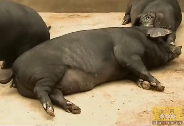 为什么要用水泥地养育肥猪?道理在这儿呢!