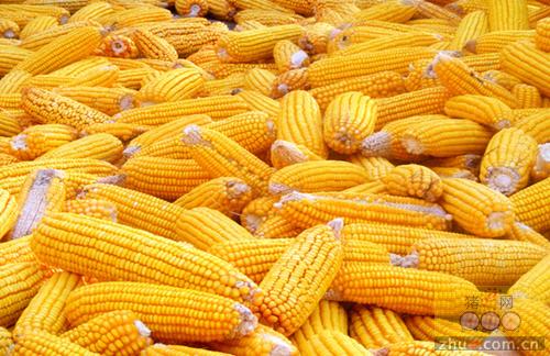 港口玉米价格再现大跌,春节前还有回升希