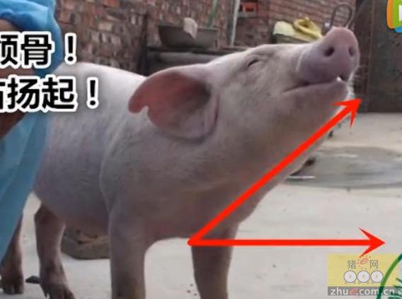 猪前腔静脉采血教学!没有比这个更详细的了