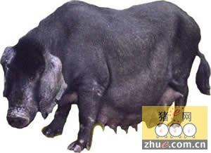 优良猪种――莱芜猪
