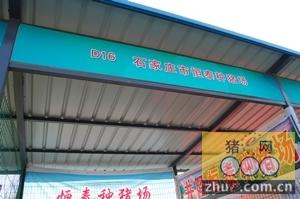 石家庄市恒泰种猪参加河北省种猪拍卖会