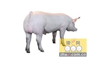 关于河北省第二届种猪拍卖会的邀请函