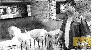 一个煤老板转型养猪后的困惑