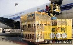 美国原种猪抵达机场