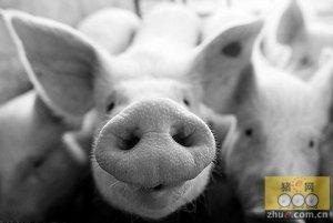 猪场栏舍清洗消毒对集约化猪场的重要意义
