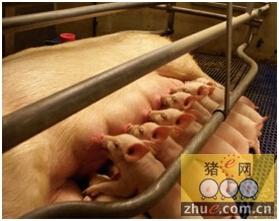 提高母猪泌乳量-减少哺乳期失重
