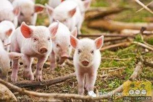 猪传染性胃肠炎与流行性腹泻之间区别
