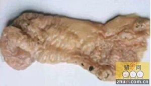 猪盲肠粘膜溃疡,分析原因