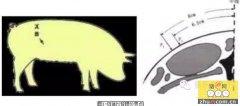 猪背膘测定的标准参数与饲料饲喂量的关系