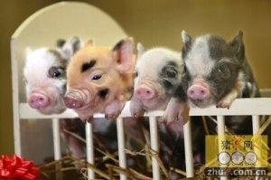"""养猪危机新时代:""""无品牌,不成商"""""""