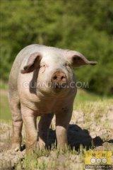 养猪专家10步教你科学处理母猪不发情