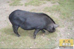 老办法养黑毛猪 也能让农民增收