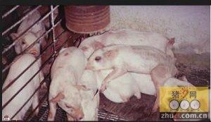 养猪赚不赚钱,猪舍决定一切。